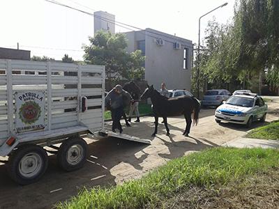 Tras reclamos de vecinos, capturan 6 caballos sueltos en La Reserva