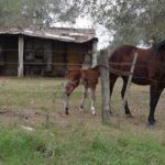 caballo-atado-2-720x514