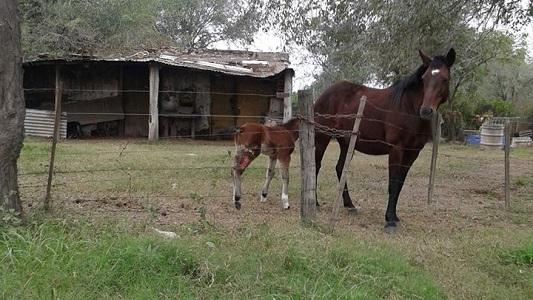 Bell Ville: Más de 70 caballos fueron rescatados de la calle