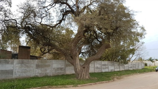 El algarrobo que es más antiguo que la propia Villa María