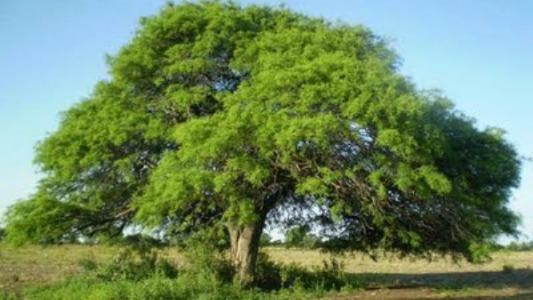 Reforestación: entregan ejemplares de algarrobo gratis