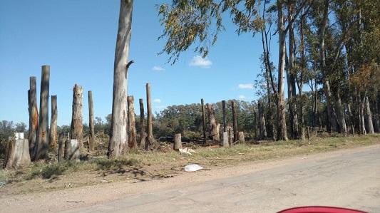 Tala de eucaliptos1