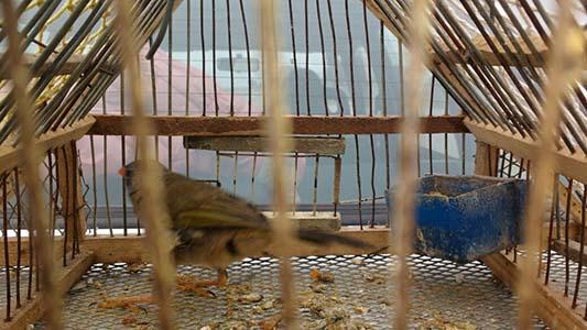 aves entrampadas secuestradas (1)