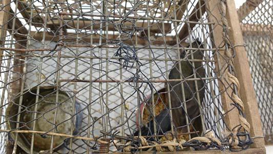 aves entrampadas secuestradas (4)