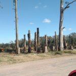 eucalipto tala