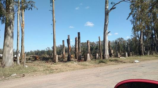 Talaron al tronco una barrera de eucaliptus en avenida Savio
