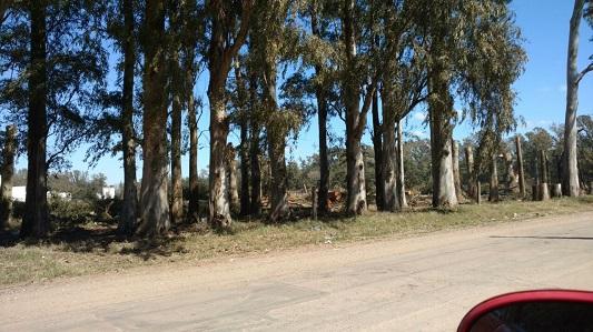 tala eucalipto 2