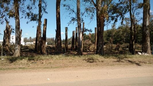 tala eucalipto 3