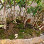 bonsai en villa maria (2)