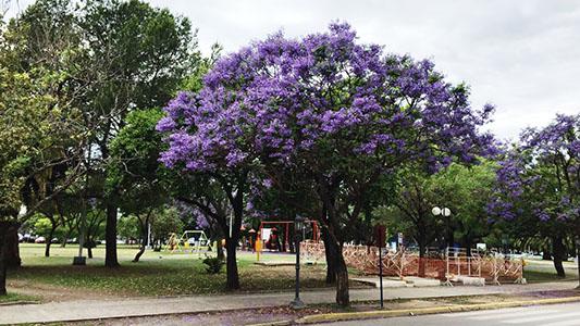 Ciudad violeta: 500 jacarandás en flor que explotan de belleza