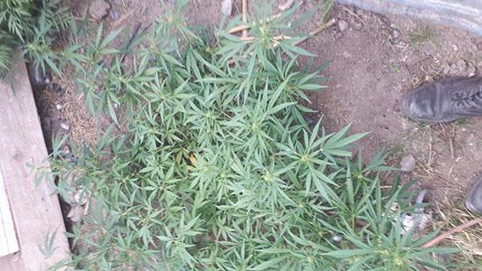 Secuestran 3 plantas de marihuana en una vivienda de Las Playas