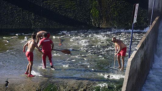 """Así """"ayudaron"""" a los peces a seguir su marcha río arriba por las compuertas"""