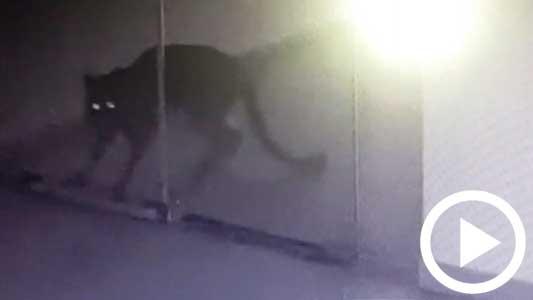 ¿Sabes qué hacer si te encontrás con el puma en Villa María?