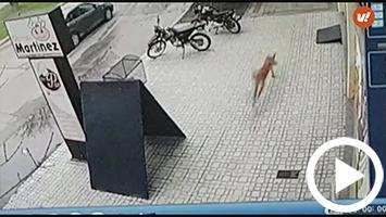 Alerta por un puma suelto en la ciudad: lo buscan con policías y bomberos