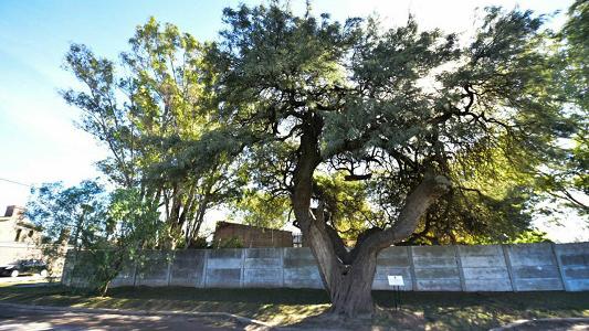 Fue reconocido por la Provincia el algarrobo de 200 años