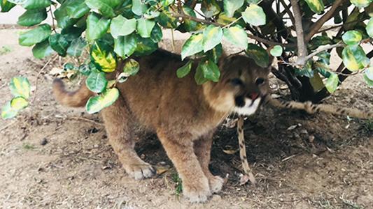 Puma rescatado: estaba en cautiverio con otros animales domésticos