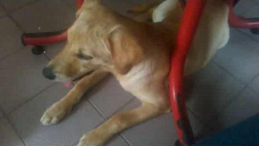 Buscan a Fita, una perra entrenada para rescates que se extravió en Villa Nueva