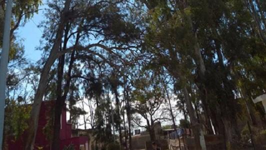 """Pide que corten una rama de eucalipto: """"Se está por caer sobre la casa"""""""