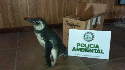 """Tenían un pingüino de mascota: lo encontró, """"le dio lástima"""" y se lo trajo a las sierras"""