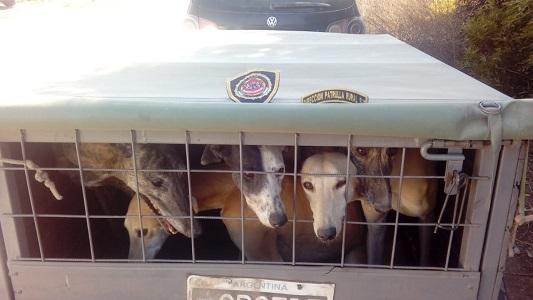 Los agarraron con 7 perros galgos hacinados en una jaula: 3 detenidos