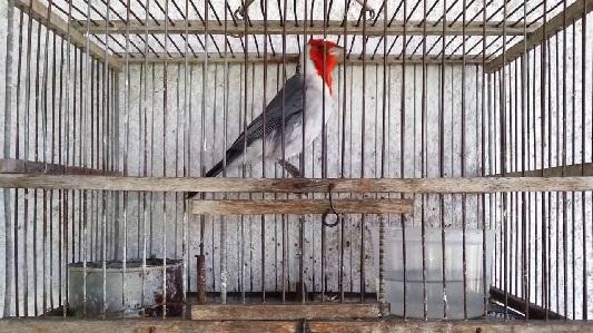 Recuperaron cardenal copete rojo robado en Villa Nueva